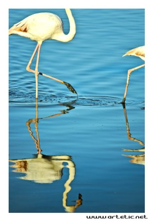 Flamingo reflections in Camargue