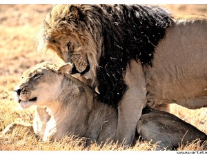 Photo from a journey in a wild park in South Africa with these 2 lions having a sweet time together.